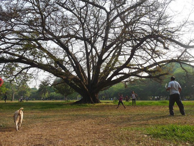A sprawling Ficus tree in Lal Bagh. Trees like this one used to be fairly common in Bangalore but are increasingly hard to come by