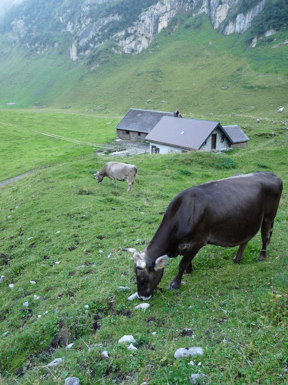 Cows graze as dusk descends in the Alpstein