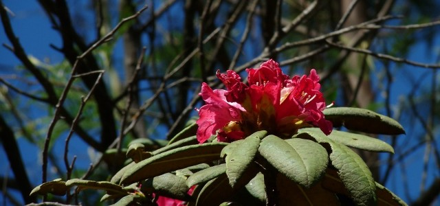 Pongal Poo, Tamil for rhododendron
