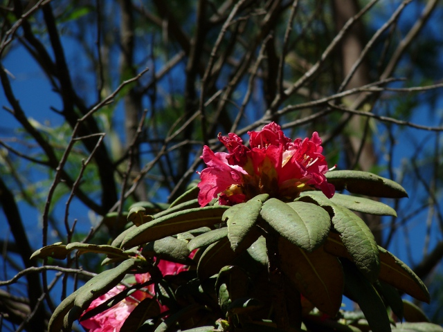 Rhododendron niligiricum, the southern species of rhododendron, inhabits the highlands of the Nilgiris