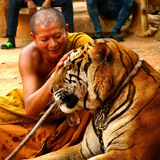 Good kitty. Why sell (or even buy) a Ferrari when you can ride this cat? #Thailand #Tiger #temples #travel #animals