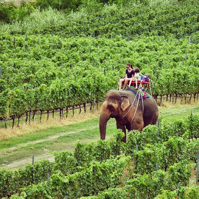 An elegant elephant in the vineyard. At Hua Hin Hills, Thailand. #travel #elephants #Thailand #wine