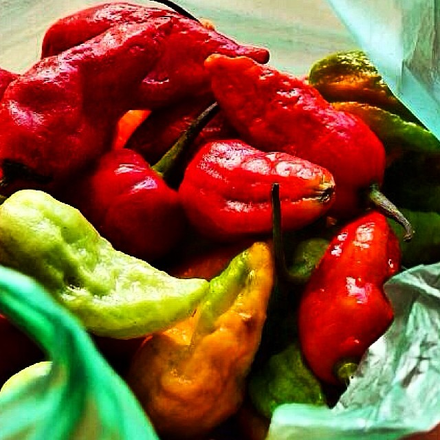 Red Hot Chilli Peppers! Bhut jalokia - fiery chillies - at Imphal Market. #food #manipur #india #chillies