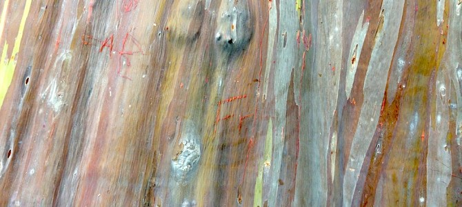 Psychedelia in Katong Park – The Mindanao Gum Tree