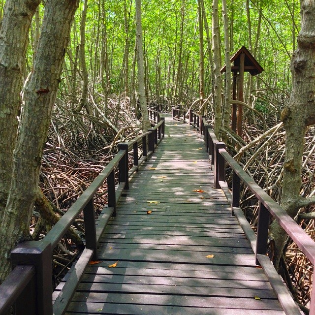 A boardwalk through #mangroves in Pranburi Forest Park, #Thailand.  #travel #travelpics