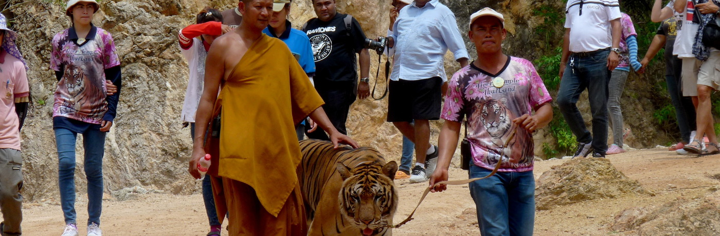 No Nirvana for Buddha's Tigers at Thailand's Tiger Temple