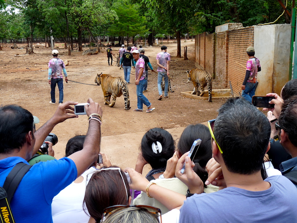 Visitors jostle each other to photograph the tigers