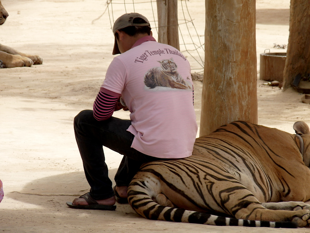 A handler treats a reclining tiger as a seat