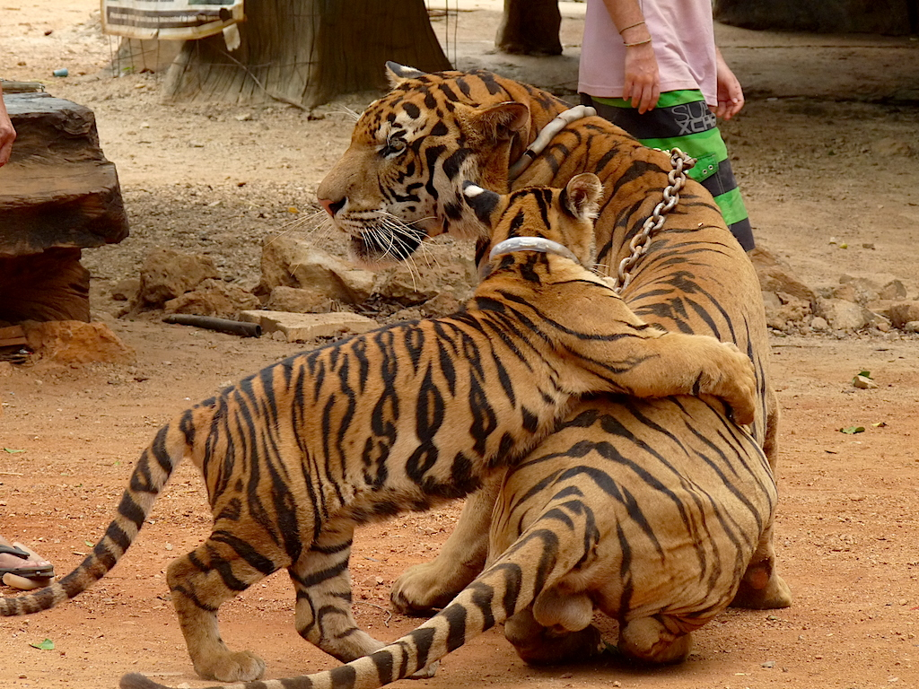Two tigers engage in a playful interaction