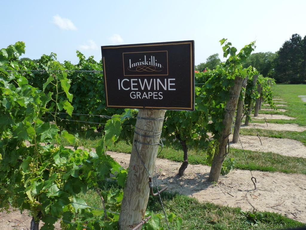 Icewine grapes in summer. They are picked in the dead of winter