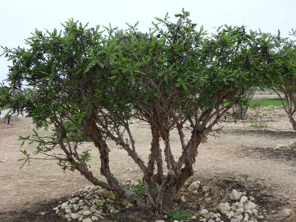 Boswellia sacra - the sacred Frankincense tree