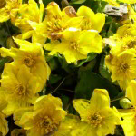 Marsh Marigolds (Caltha palustris) light up the bugyals