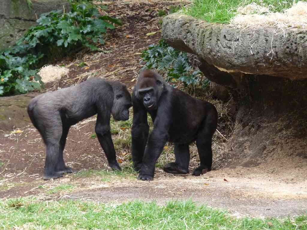 Western Lowland Gorillas, similar to Harembe, in Melbourne Zoo