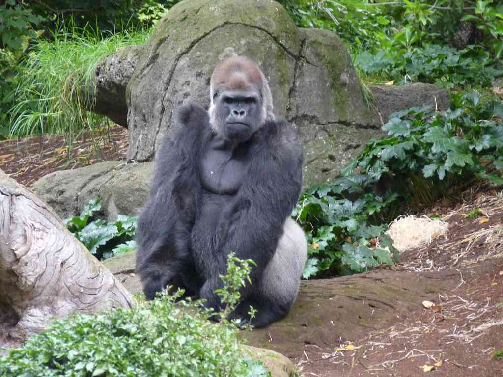 Not Harambe, but another Western Lowland Gorilla