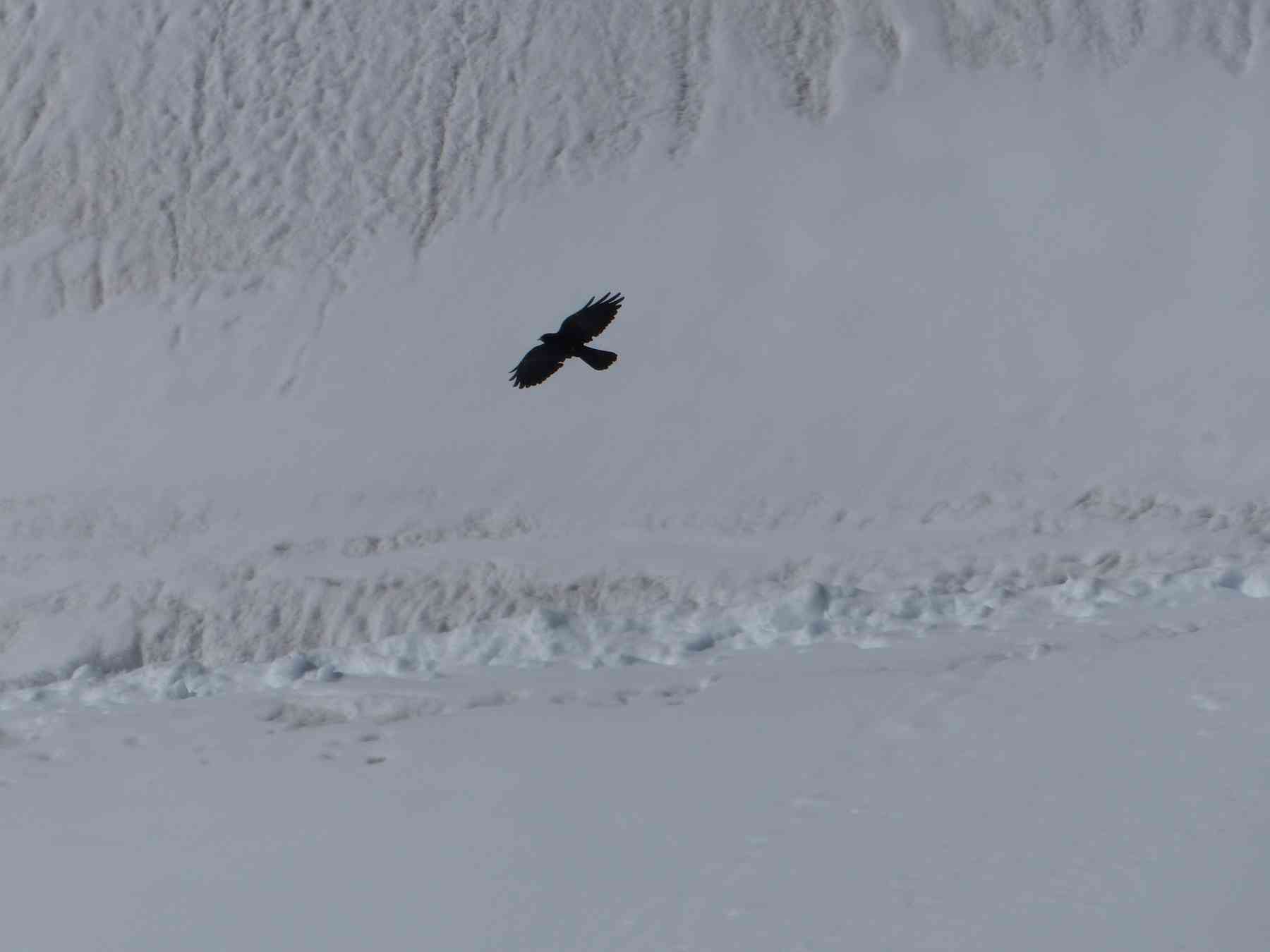 Alpine chough at Jungfrau