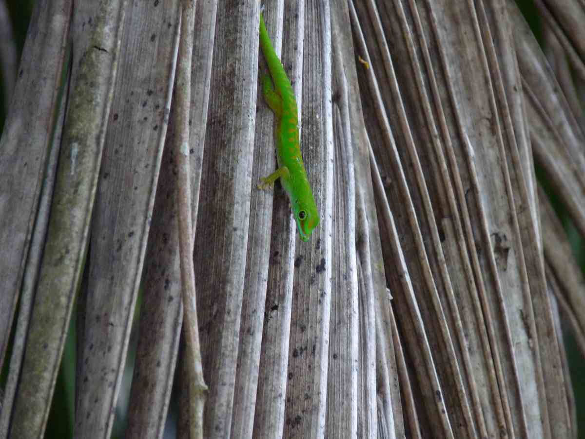 Seychelles Day Gecko in the land of the black parrot